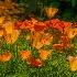 2Enlighten Poppies. - ID: 15576241 © Eric B. Stogner