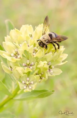 Milkweed Bee