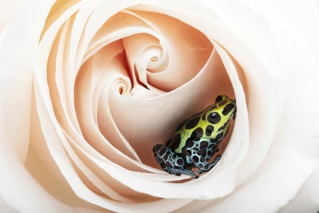 Dart Frog Sitting in a Rose