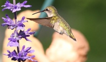 My Beautiful Hummingbird