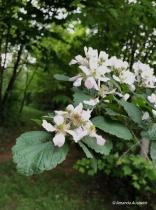 Black Berry blossoms