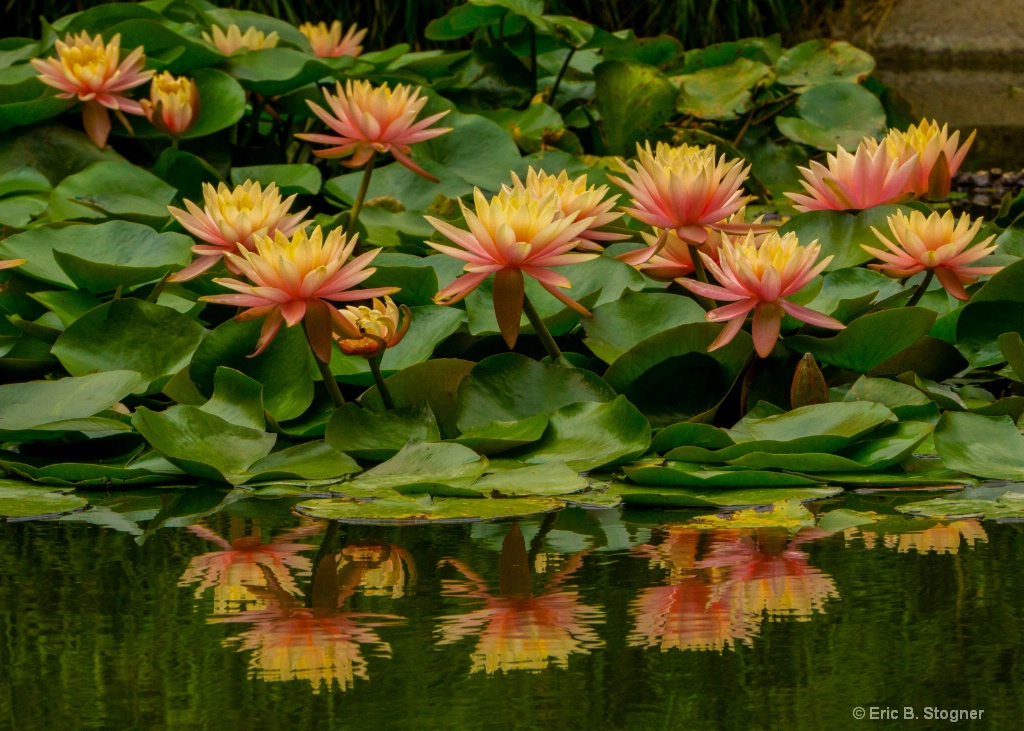 Water Lilies with Reflection. - ID: 15580855 © Eric B. Stogner