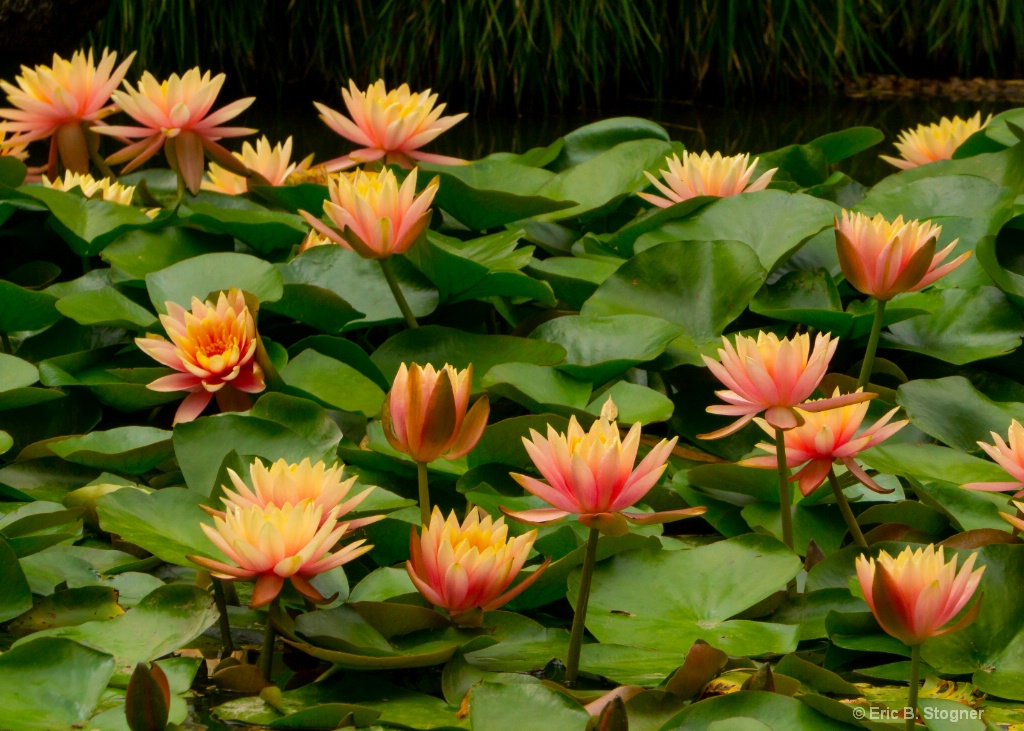 Water Lilies l. - ID: 15580859 © Eric B. Stogner