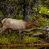 2Female Elk l. - ID: 15581580 © Eric B. Stogner