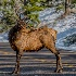 "2""Roadblock"" Male Elk. - ID: 15581585 © Eric B. Stogner"