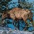 "2""Roadside"" Male Elk. - ID: 15581586 © Eric B. Stogner"