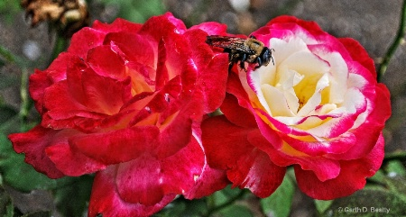 Honey from a Rose