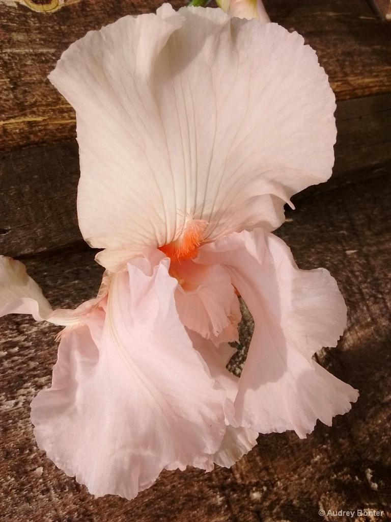 Fragile Iris