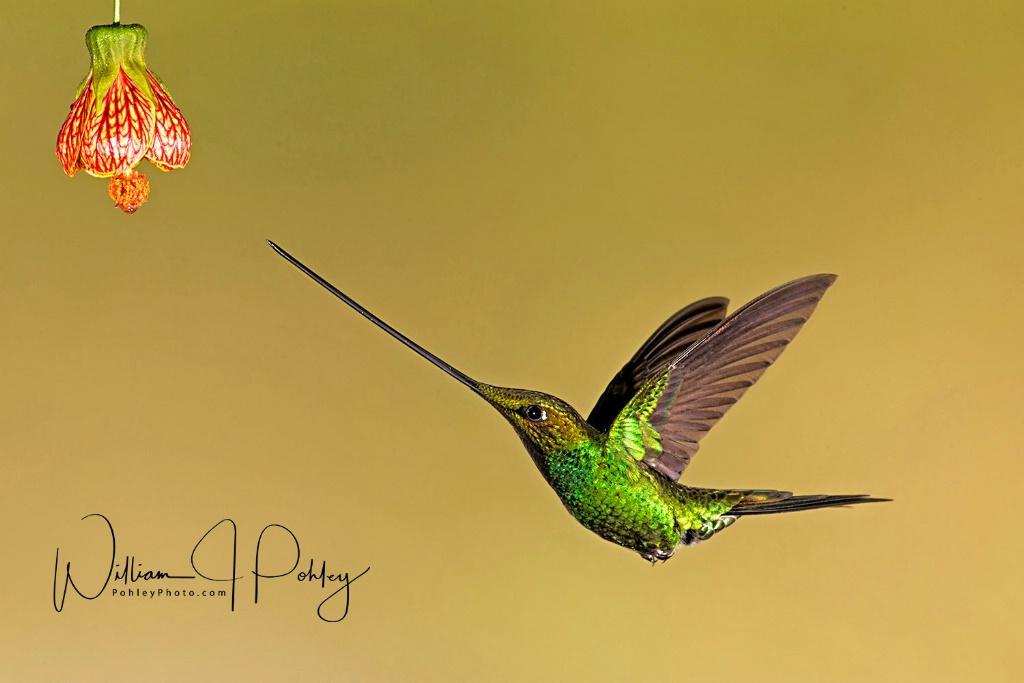 Sword-billed Hummingbird BH2U6393 - ID: 15584395 © William J. Pohley