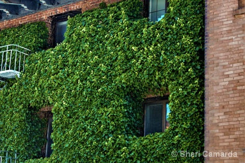 Framed In Ivy - ID: 15584458 © Sheri Camarda