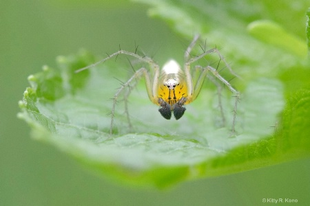 The Grumpy Striped Lynx Spider