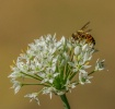 Bee in Sunshine