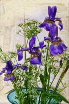 Iris and Lace