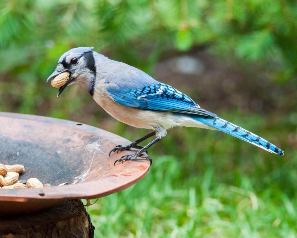 Blue Jay and Peanuts