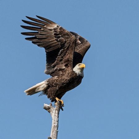 Eagle #33