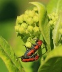 Milkweed Beetles