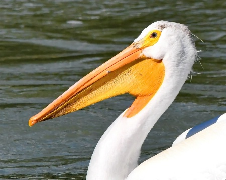 Eye of the Pelican