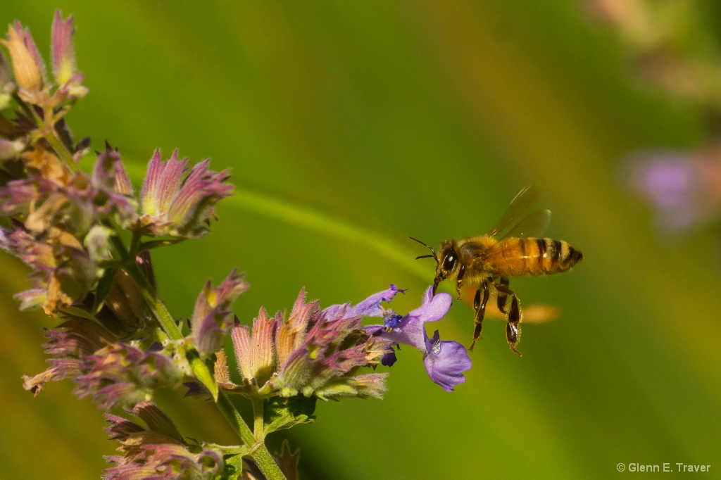 Honey Bee on the Catmint