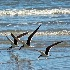 2Skimming the Surf - ID: 15592212 © Zelia F. Frick