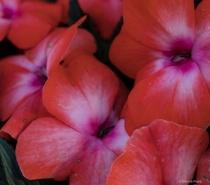 red pink petals
