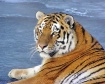 Tiger On Ice