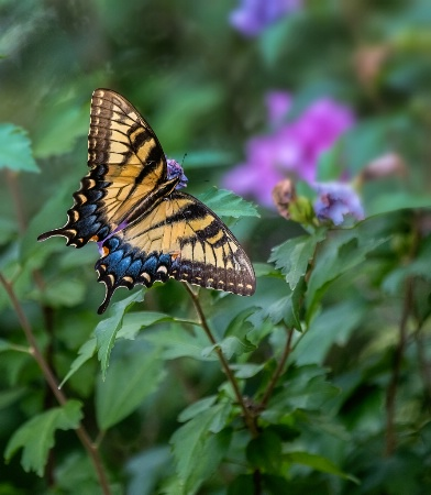 Eastern Tiger Swallotail
