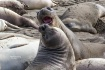 Elephant Seals Fi...