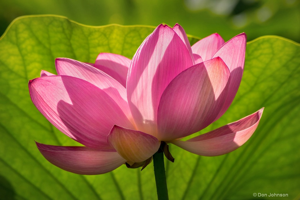Pink Lotus Flower 3-0 F LR 7-7-18 J651 - ID: 15598861 © Don Johnson