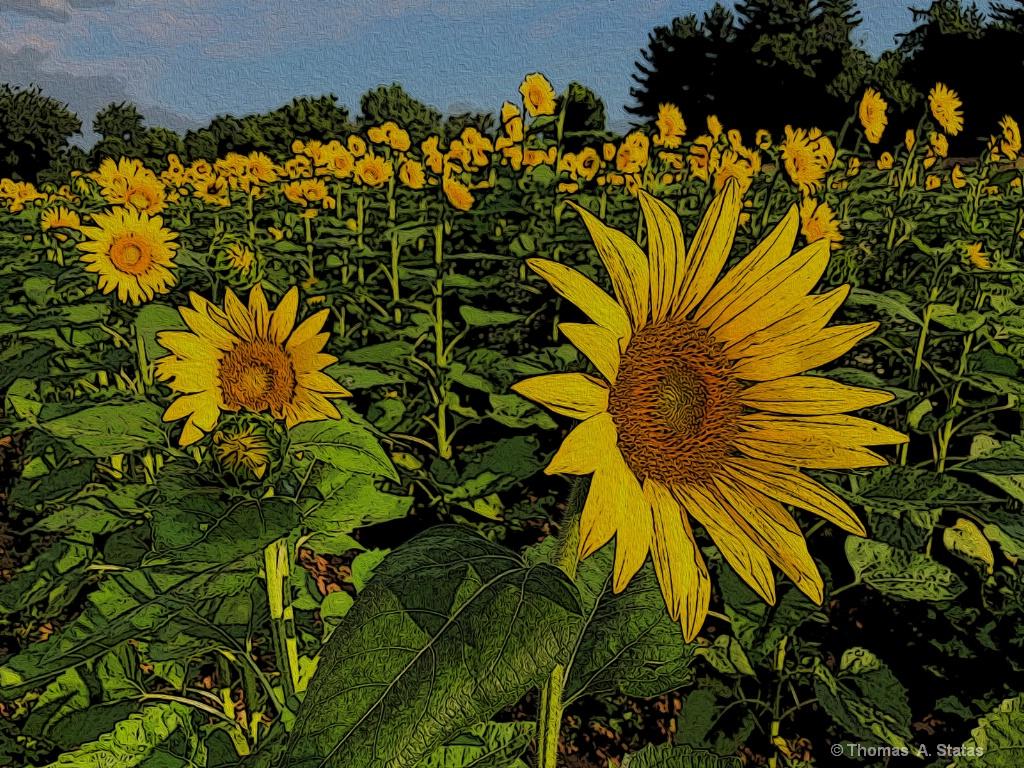Sunflowers - ID: 15599342 © Thomas  A. Statas