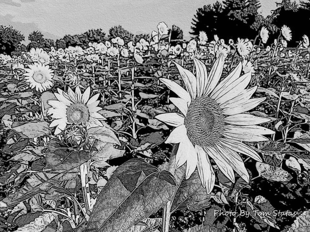 Sunflowers in Bloom-2 - ID: 15599352 © Thomas  A. Statas