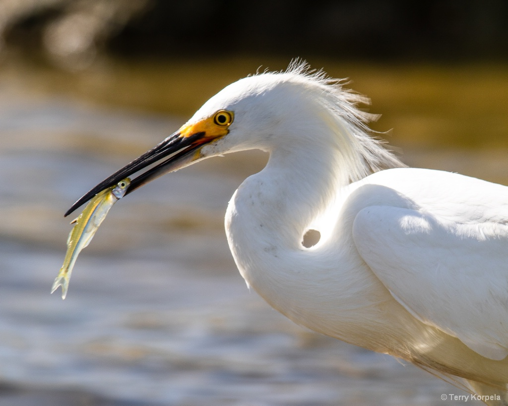 Good Day Fishing for a Snowy Egret - ID: 15599438 © Terry Korpela