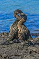 Flightless Cormorants in Courting Mode