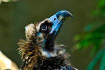 Cinerous Vulture