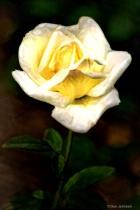Artistic Rose-White 6-0 F LR 6-10-18 J307
