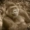 Gorilla - Sepia t...