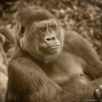 Gorilla - Sepia tone