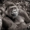 Gorilla - Black a...