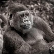 Gorilla - Black and White
