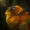 Golden lion tamar...