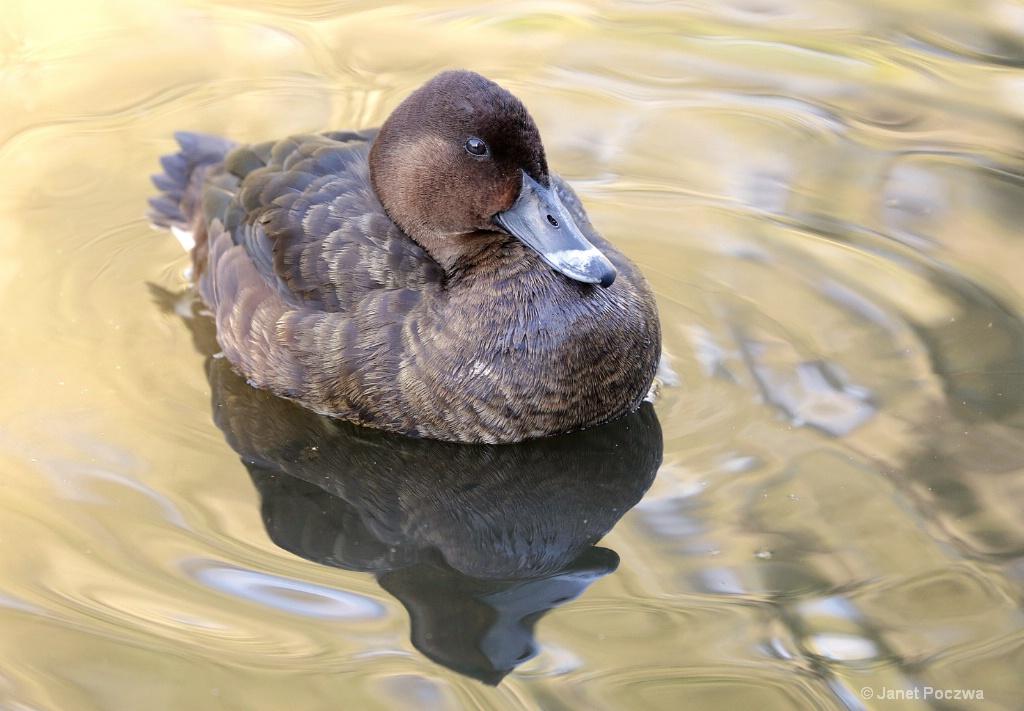 Female White-eyed Duck