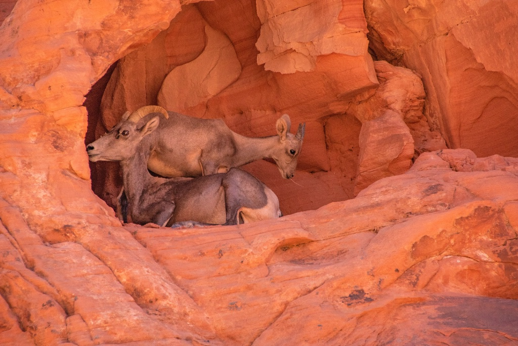 Mother and baby mountain Goat in Fire Valley NV