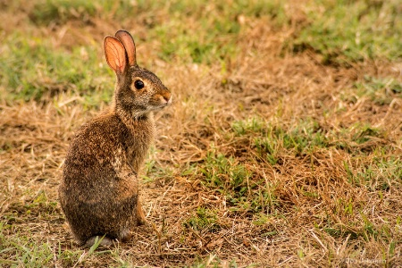 Wild Rabbit 3-0 F LR 7-22-18 J146