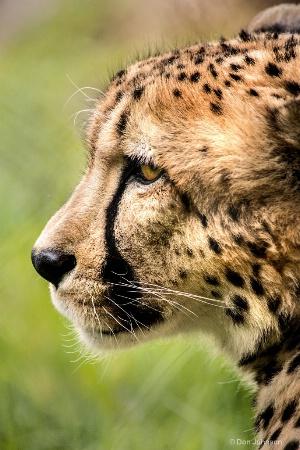 Profile of a Cheetah 3-0 F LR 5-6-18 J185
