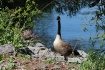 The Family Goose