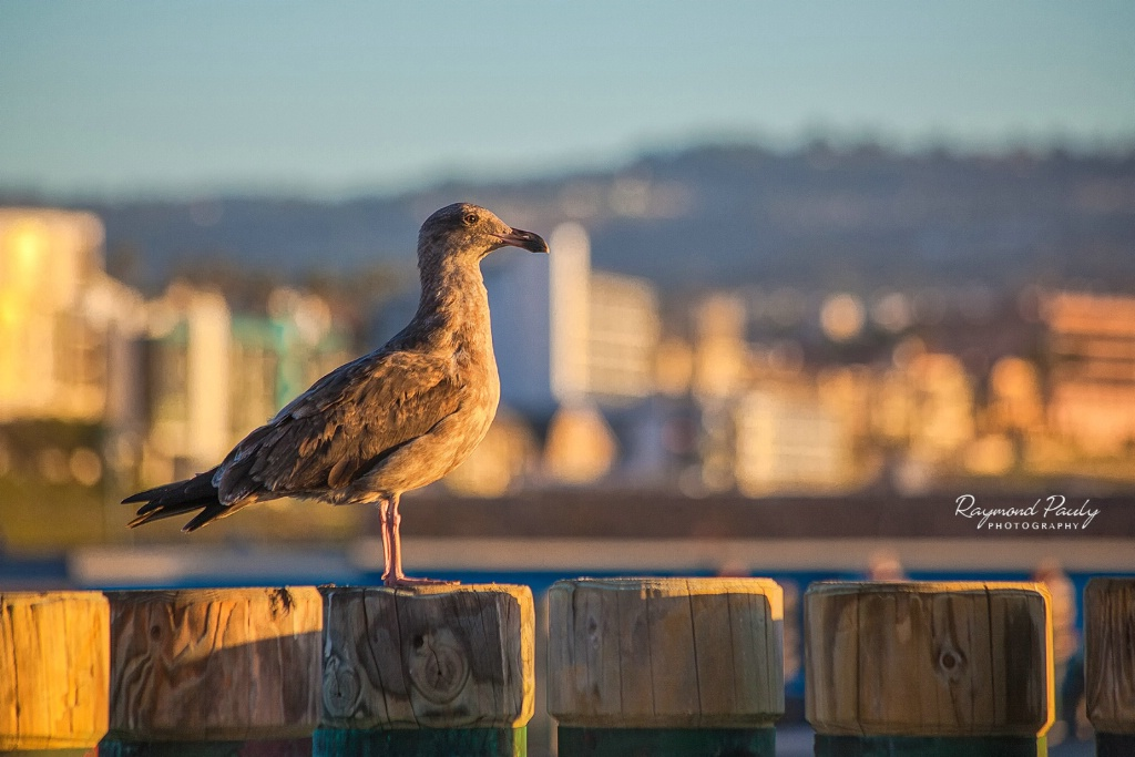 Seagull in Redondo Beach