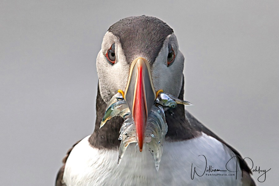 Atlantic Puffin  68A3549 - ID: 15610566 © William J. Pohley