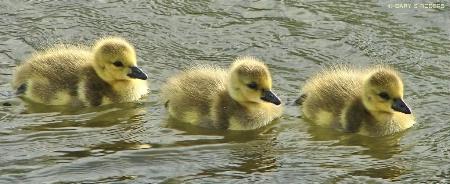 Gosling Trio