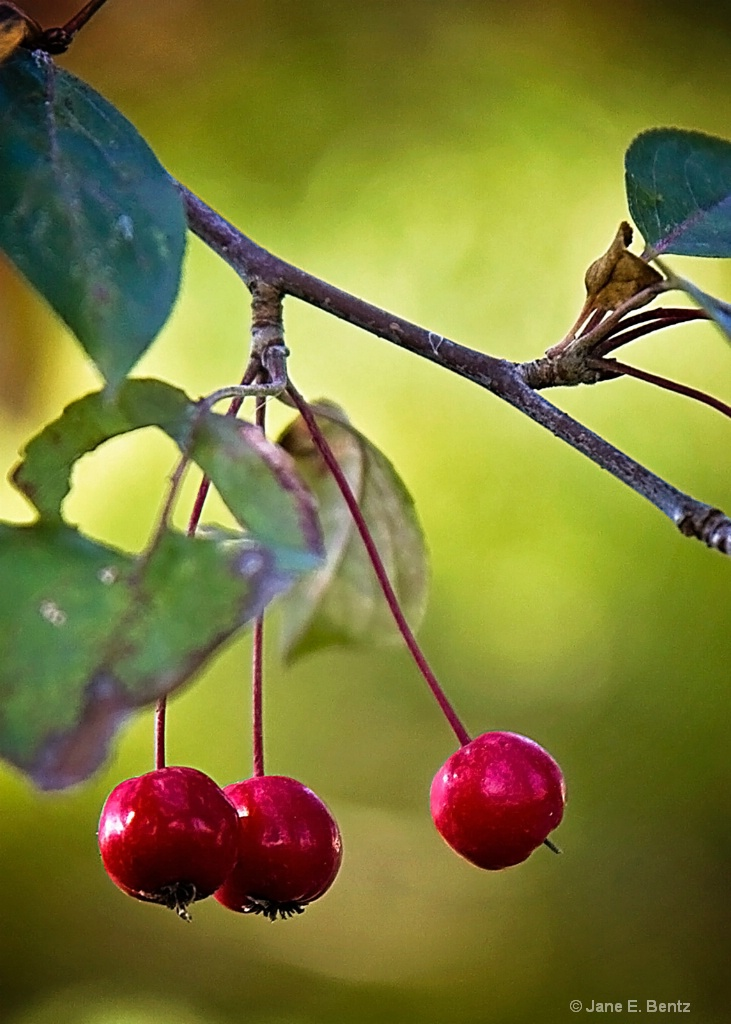 Three Crab Apples - ID: 15611340 © Jane E. Bentz