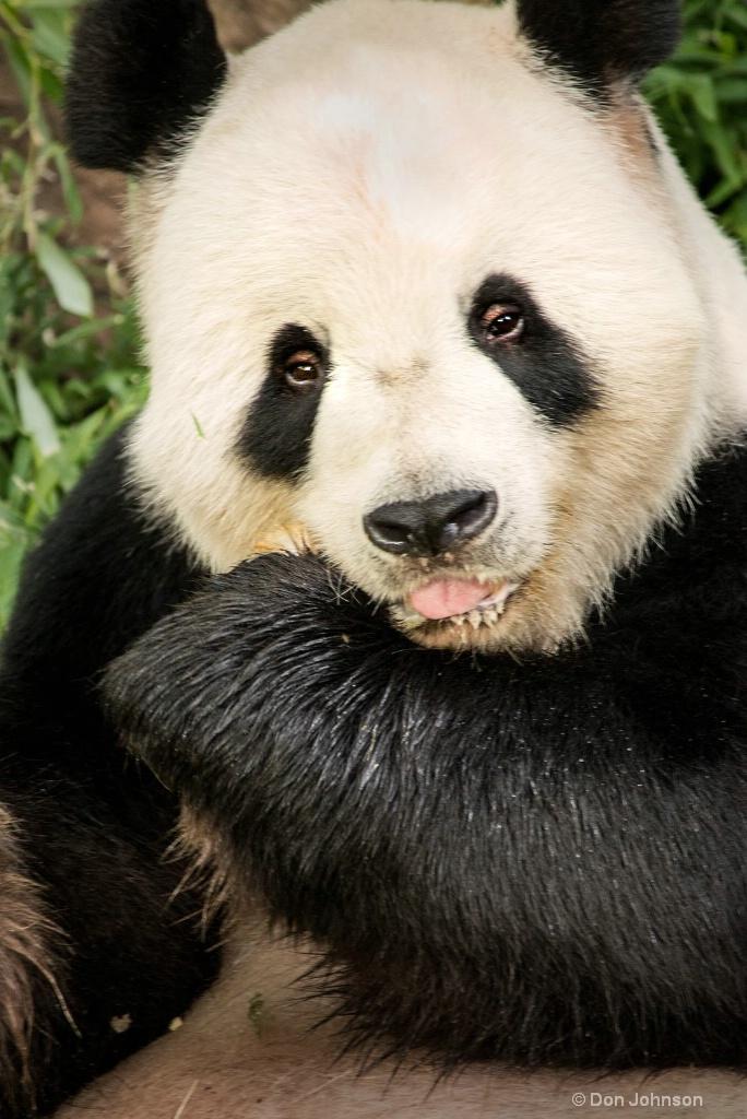 Panda-NZ 3-0 F LR 8-5-18 J081 - ID: 15611944 © Don Johnson