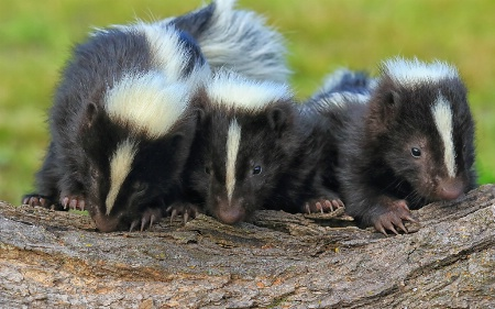 Three Baby Skunks